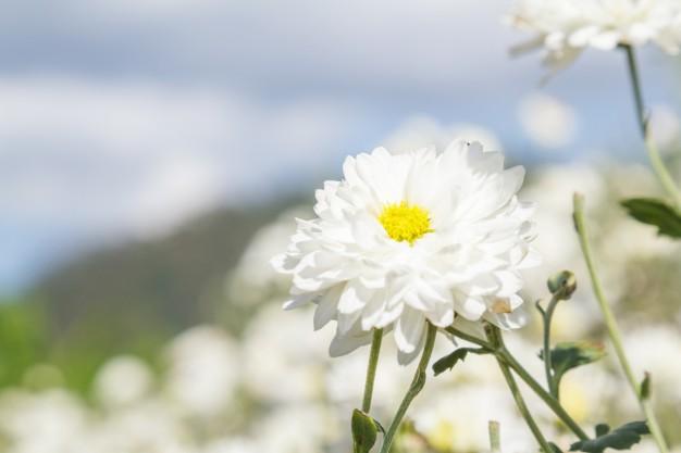 ý nghĩa câu chuyện bông hoa cúc trắng